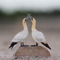 Gannet - Paper cut birds by NVillustration