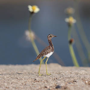 Double-striped Thick-knee - Paper cut birds
