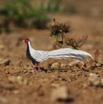 Silver Pheasant - Paper cut birds