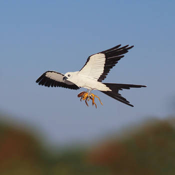 Swallow Tailed Kite- Paper cut birds by NVillustration