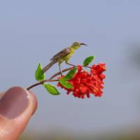 Bronze Sunbird - Paper cut birds by NVillustration