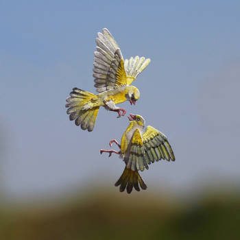 European Greenfinch fight- Paper cut birds by NVillustration