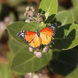 Plain Tiger Butterfly - Paper cut birds