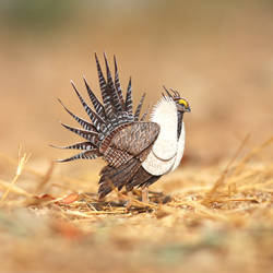 Greater Sage Grouse - Paper cut birds by NVillustration