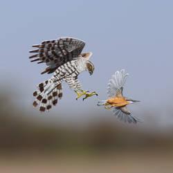 Northern Goshawk- Paper Cut Birds by NVillustration