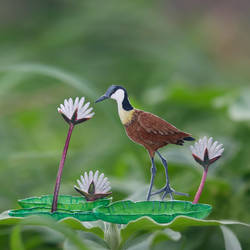African Jacana - Paper Cut Birds by NVillustration