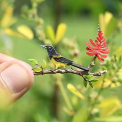 Black vented Oriole - Paper Cut Birds