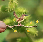 Ashy Prinia female - Paper Cut Birds