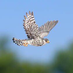 Amur Falcon female - Paper Cut Birds by NVillustration