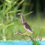 Indian Pond Heron - Paper Cut Birds