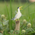 The Large-billed Tern - Paper Cut Birds