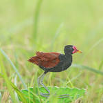 The Wattled Jacana - Paper Cut Birds
