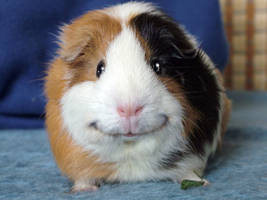 Angeelo the guinea-pig by Fany001