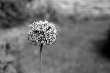 Flower head by Nigel-Kell