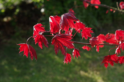 New red leaves