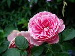 Rosada 1 by ToniTeror