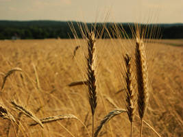 Fields of gold by MikeZK