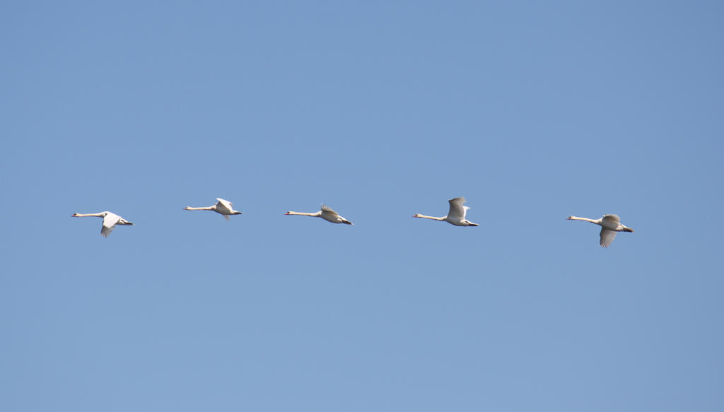 Swans by MikeZK