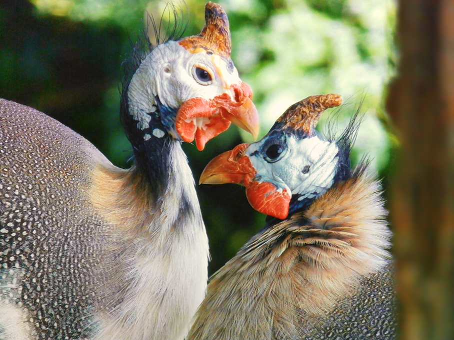 Guinea Fowl Love by WraithWolves