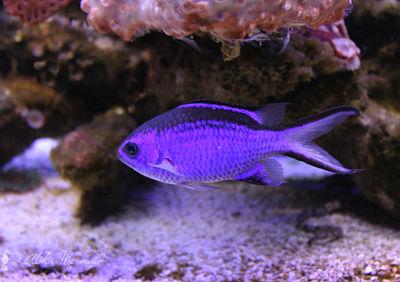 Little Purple Fish