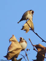 European Goldfinch by Alexandru-MM