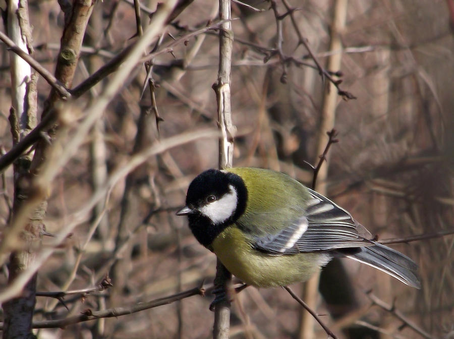 Parus major-Pitigoi by Alexandru-MM