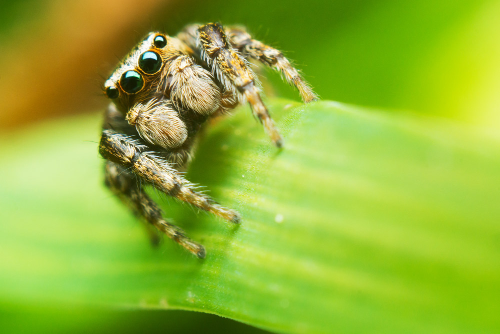 jumping_spider_ii_by_mprox-d6802a5.jpg