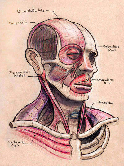 Facial Muscles Study by AlexanderHenderson