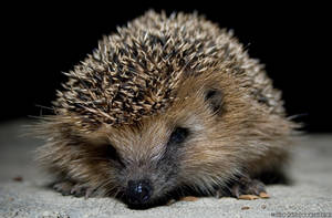 Hedgehog by technoidslave