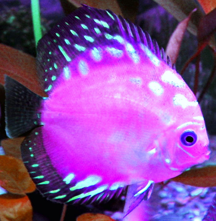 Discus pigeon by achnaton on deviantart for Best place to buy discus fish