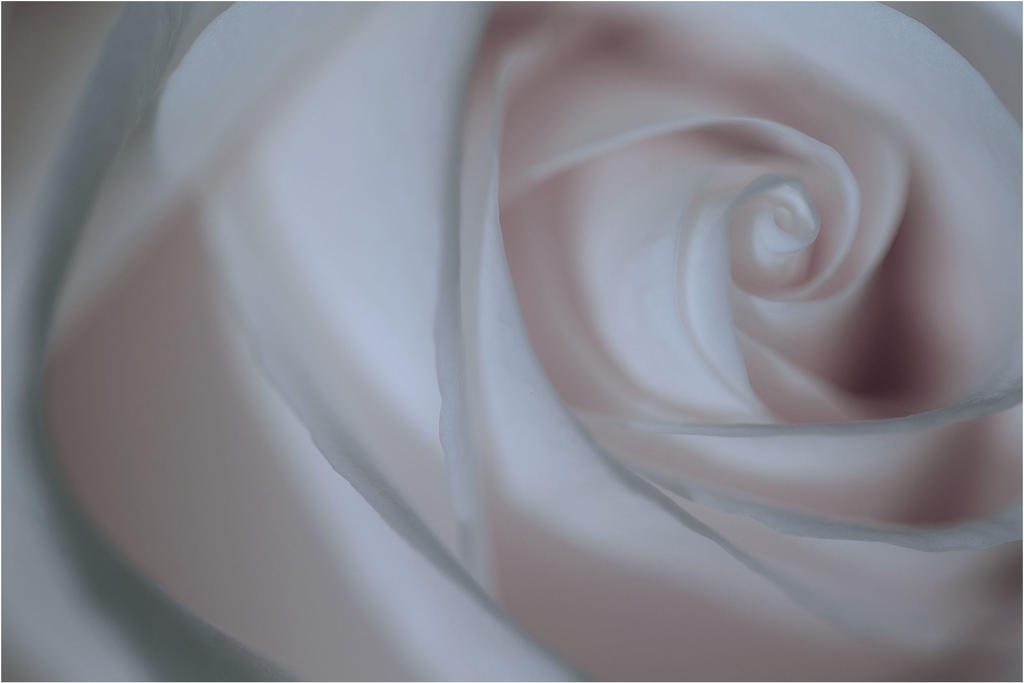 White Rose by aquapell