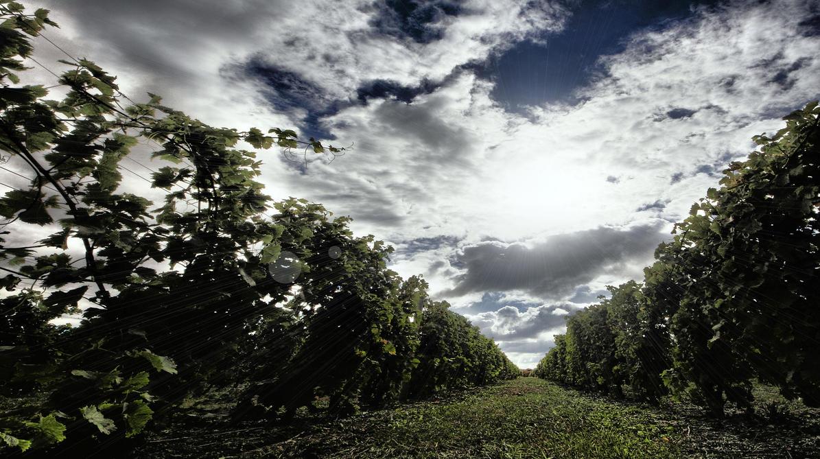 The Vineyard by aquapell