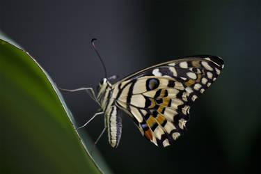 Butterfly0005 by kismuntr