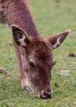 Fallow Deer 0008