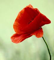 poppy red by SvitakovaEva