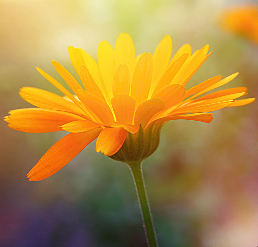 Yellow flower by svitakovaeva on deviantart yellow flower by svitakovaeva mightylinksfo