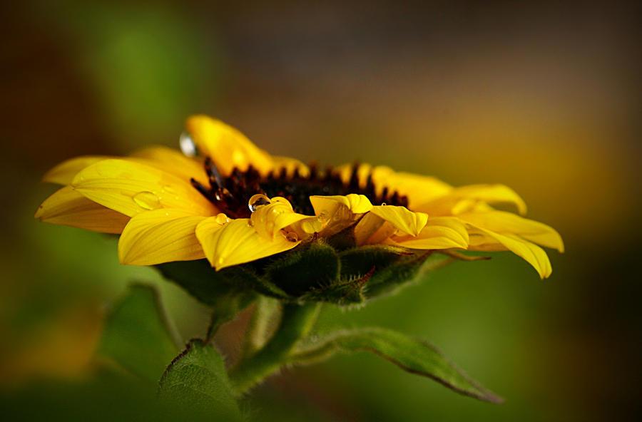 I love sunflowers by SvitakovaEva
