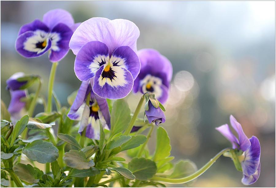 kumpulan violet flowers  page   .bangunrumahmas, Beautiful flower