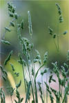 meadow detail II