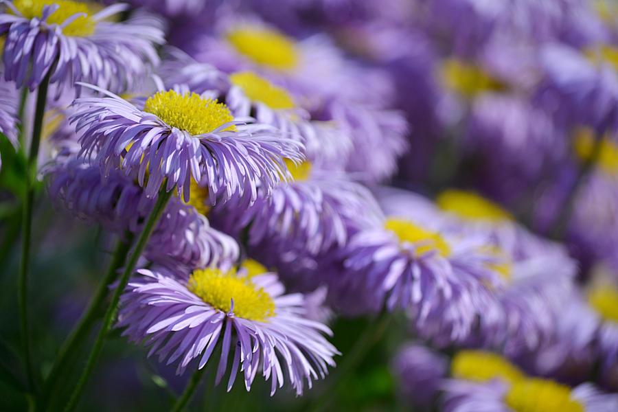Purple Flowers In The Garden By SvitakovaEva ...