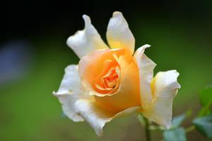 Yellow roses in the garden by SvitakovaEva