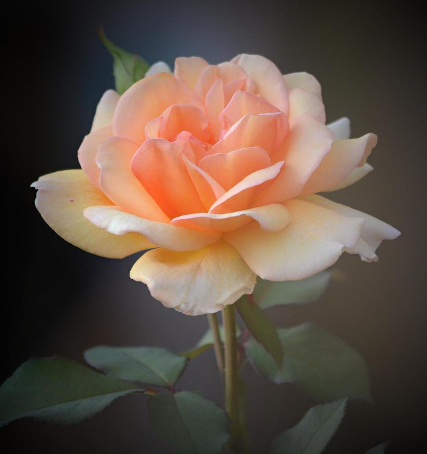 orange roses by SvitakovaEva