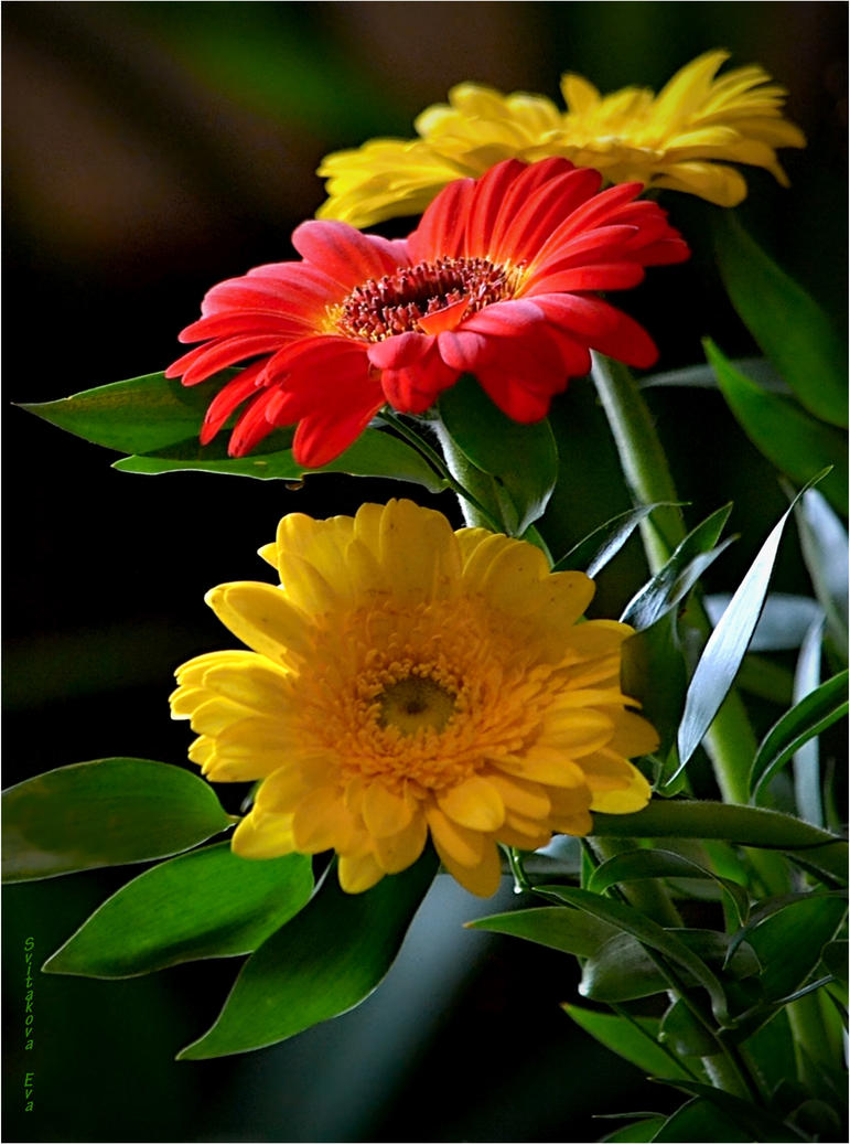 yellow and red gerbera by SvitakovaEva