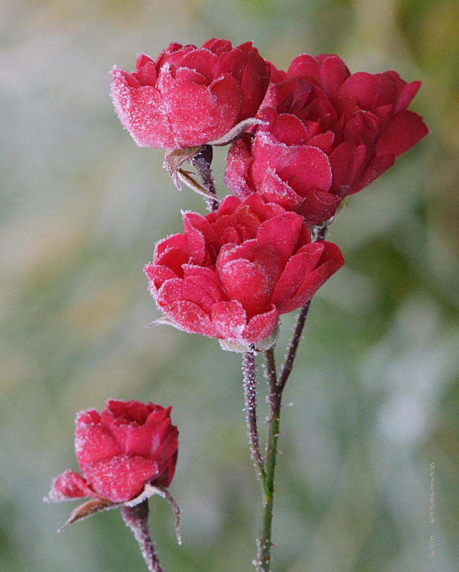 roses in the garden by SvitakovaEva