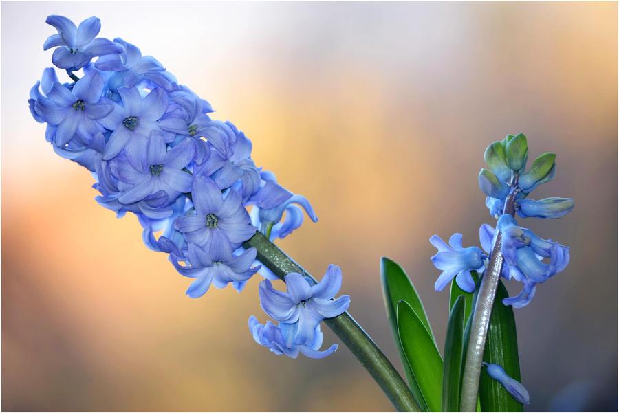 waiting for spring - Hyacinth by SvitakovaEva