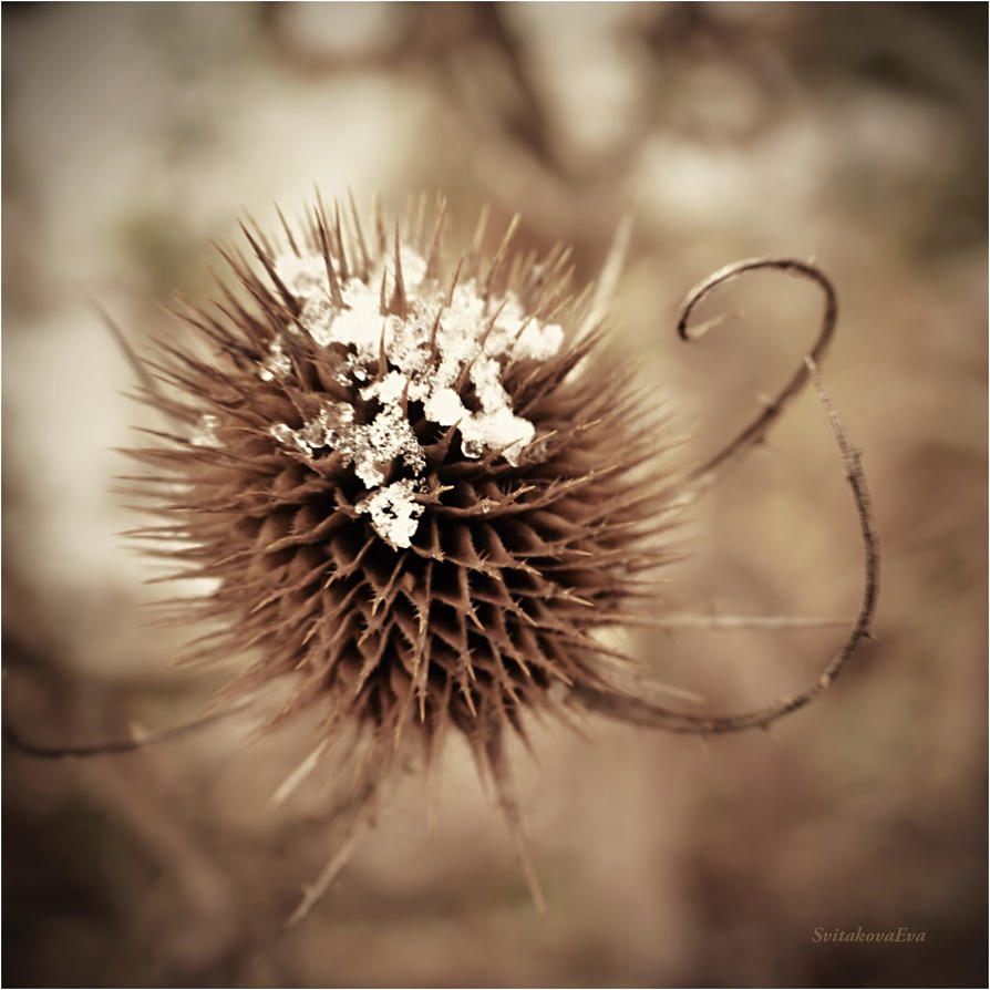 thistle in winter by SvitakovaEva