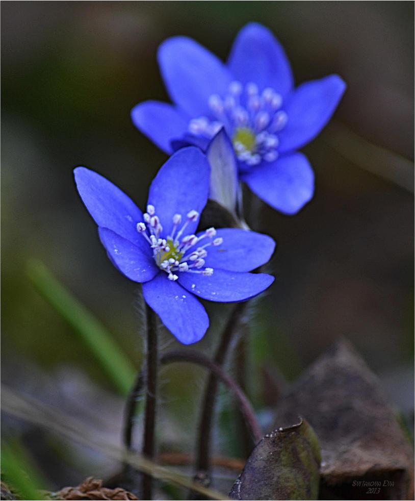 Blue Spring Flowers By Svitakovaeva On Deviantart