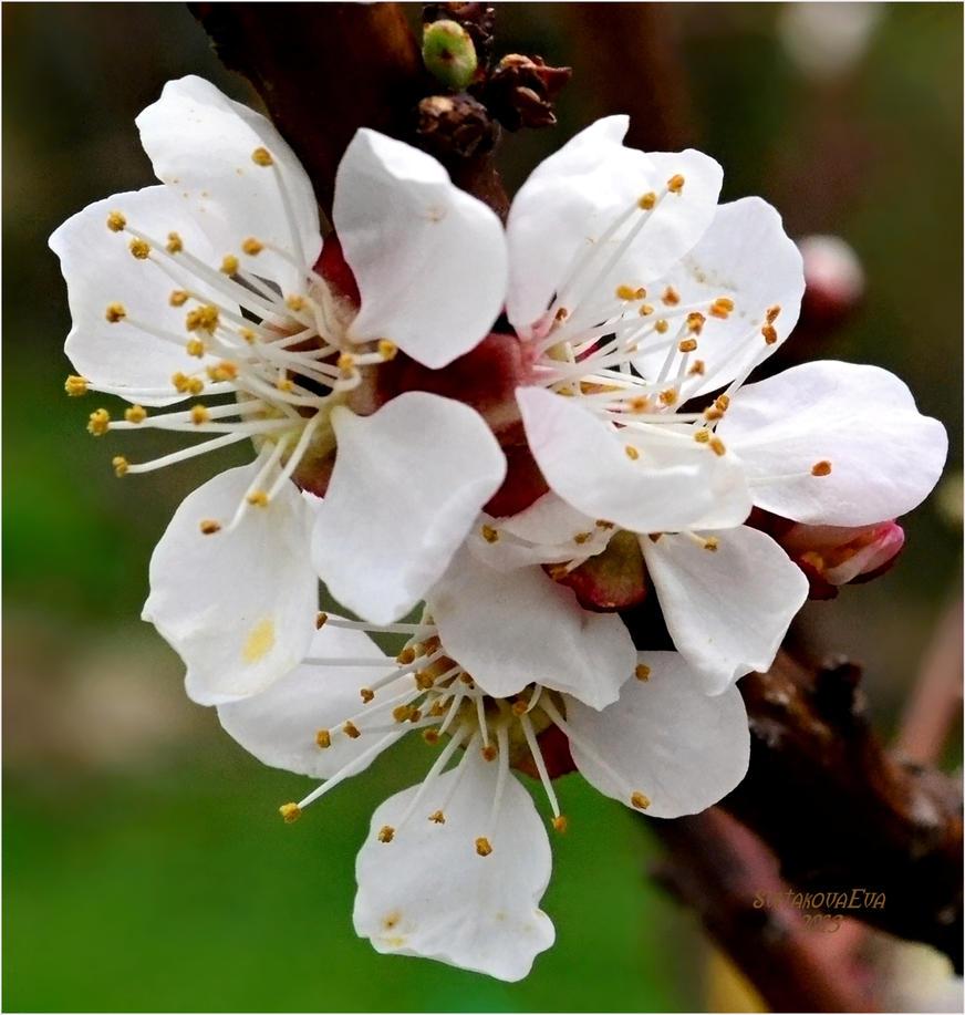 apricot flowers by SvitakovaEva