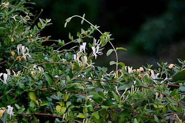 Hedge - wisteria by SvitakovaEva