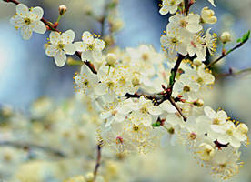 flowering Tree by SvitakovaEva